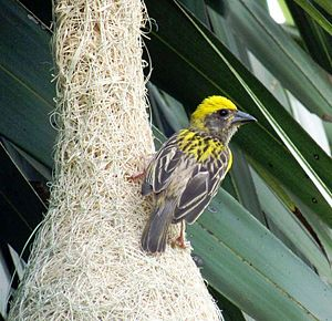 Baya weaver - Male perched on his nest in southern India