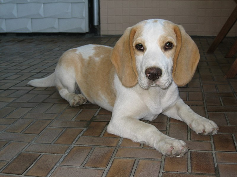 File:Beagle tan-white.jpg - Wikimedia Commons