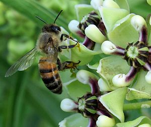Asclepias - Honeybee on antelope horn (Asclepias asperula) with pollinia attached to legs