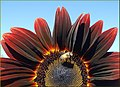 Bee on Red Sunflower (3) (10386540696).jpg