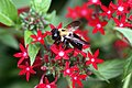 Bee very close (4915229502).jpg