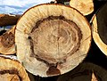 Beech growth rings.jpg