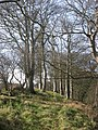 Beech trees at Corballis - geograph.org.uk - 680031.jpg