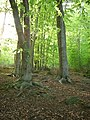 Beech trees at Shining Cliff Woods - geograph.org.uk - 506143.jpg
