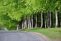 Beeches On The Road To Argaty - panoramio.jpg