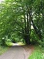 Beeches in Sailor's Lane - geograph.org.uk - 53194.jpg