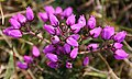 Bell Heather (Erica cinerea) - geograph.org.uk - 581131.jpg