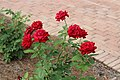 Bellingrath Gardens and Home 2018 rose garden Ingrid Bergman.jpg