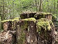 Bemooste Baumstümpfe im Neandertal.jpg