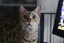 Cardiomyopathy Cat Breeds