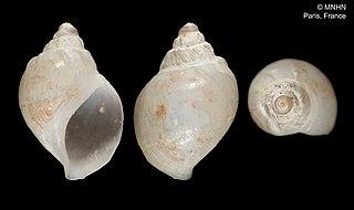 <i>Benthobia tryonii</i> Species of gastropod