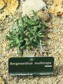 Bergeranthus multiceps (Jardin des Plantes de Paris).jpg