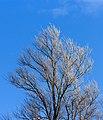 Berijpte wilgen (Salix) tegen de vrieslucht. Locatie, Natuurterrein De Famberhorst 05.jpg