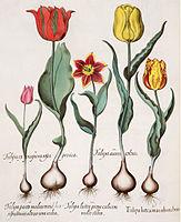 Besler H.E. tulipa 1.jpg