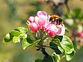 Biene auf Apfelblüte.jpg