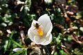 Biene auf Krokusblüte.jpg