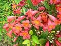 Bignonia capreolata 2.jpg