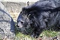 Binturong at the zoo in Royal Oak.jpg