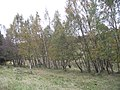 Birch woods, Tom na Moine - geograph.org.uk - 1004230.jpg