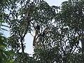 Bird Malabar Pied Hornbill Anthracoceros coronatus IMG 2108 04.jpg