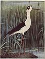 Birds Illustrated Stilt.jpg