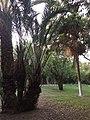 Biskra palm parc.jpg