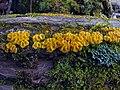 Bisporella citrina (Batsch) Korf & S.E. Carp 387394.jpg
