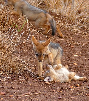 Alloparenting - Black-backed jackal pups playing