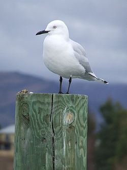 Black-billed Gull (5).JPG