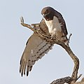 Black-chested snake eagle (Circaetus pectoralis) at Pilanesberg National Park, South Africa. (29993451727).jpg