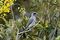 Black-faced Cuckoo-shrike - Flickr - jeans Photos.jpg