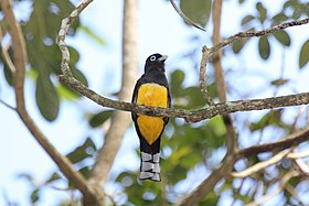 Black-headed Trogon (Trogon melanocephalus) (7222805914).jpg