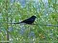 Black Drongo (Dicrurus macrocercus) (23303931234).jpg