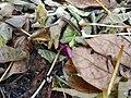 Black Millipede in plant litter.jpg
