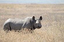 Black rhino in Ngorongoro crater, Tanzania