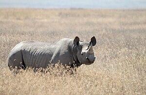Black Rhinoceros (Diceros bicornis), picture t...