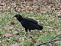 Black Vulture - Virginia - 2.JPG