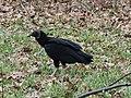 Black Vulture - Virginia - 2.JPG