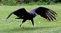 Black Vulture 1 (6022510912).jpg