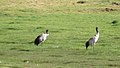 Black necked cranes.jpg