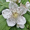 Blackberry (Rubus fruticosus) flower - Shewalton.JPG