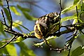Blackburnian Warbler (female) Sabine Woods TX 2018-04-22 14-35-14-2 (41991873541).jpg