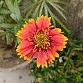 Blanket flower 01.jpg