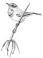 Blauwborst Luscinia svecica Jos Zwarts 1.tif