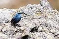 Blauwe-rotslijster-4 (15579468660).jpg