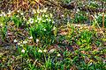 Bledule jarní v PR Králova zahrada 06.jpg