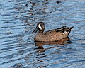 Blue-winged Teal (41886098260).jpg