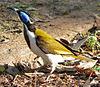 BlueFacedHoneyeater-Aust Redphoenix
