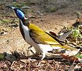 BlueFacedHoneyeater-Aust Redphoenix.jpg