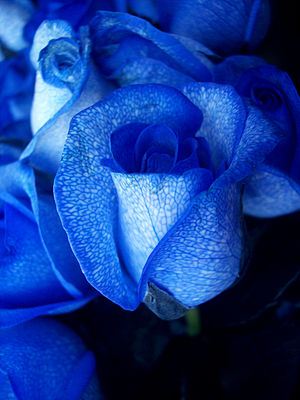 Blue rose - Blue roses created by artificially colouring white roses.